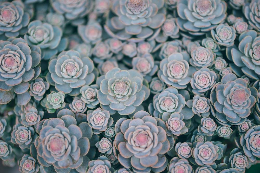 green succulents in bloom