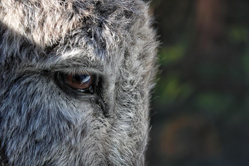 animal's right eye