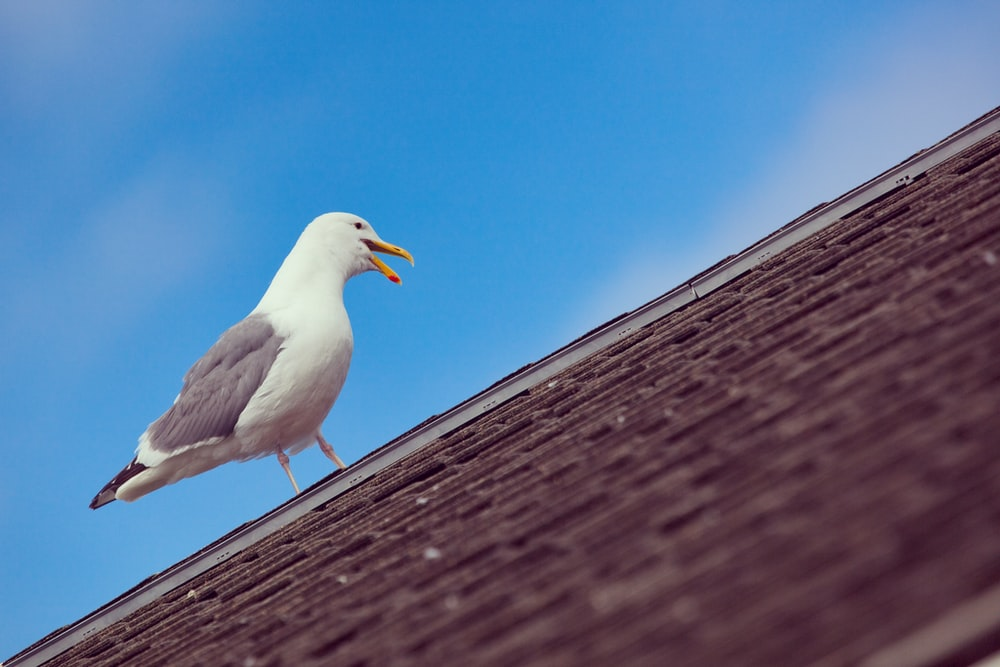 seagull perched on hose roof