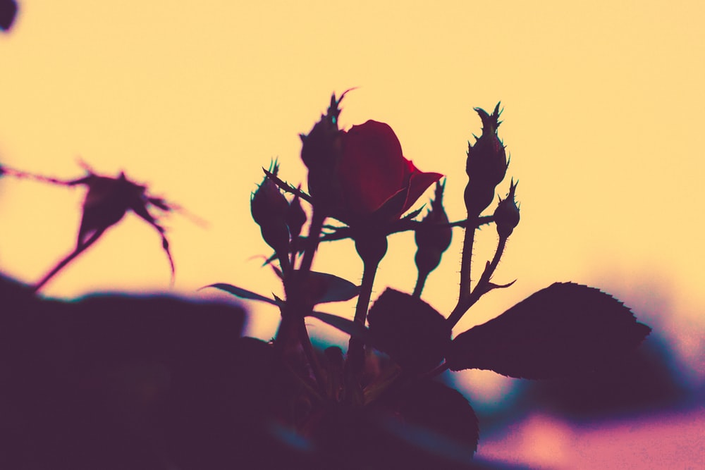 selective color photography of red rose