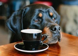 adult mahogany Rottweiler on focus photography