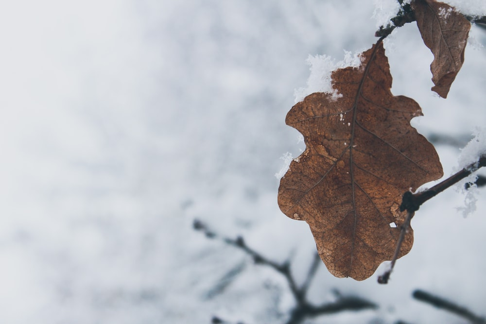 close up photography brown leaf with snow