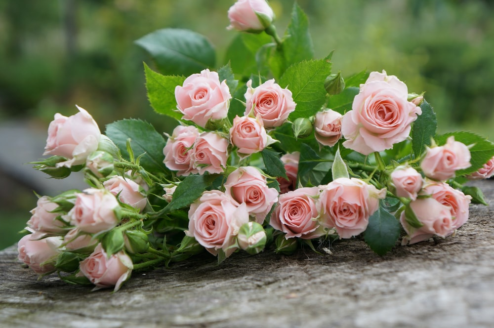 pink roses on selective focus photography