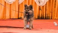 tan German shepherd puppy with black leash on focus photography
