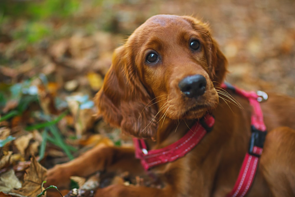short coated brown puppy