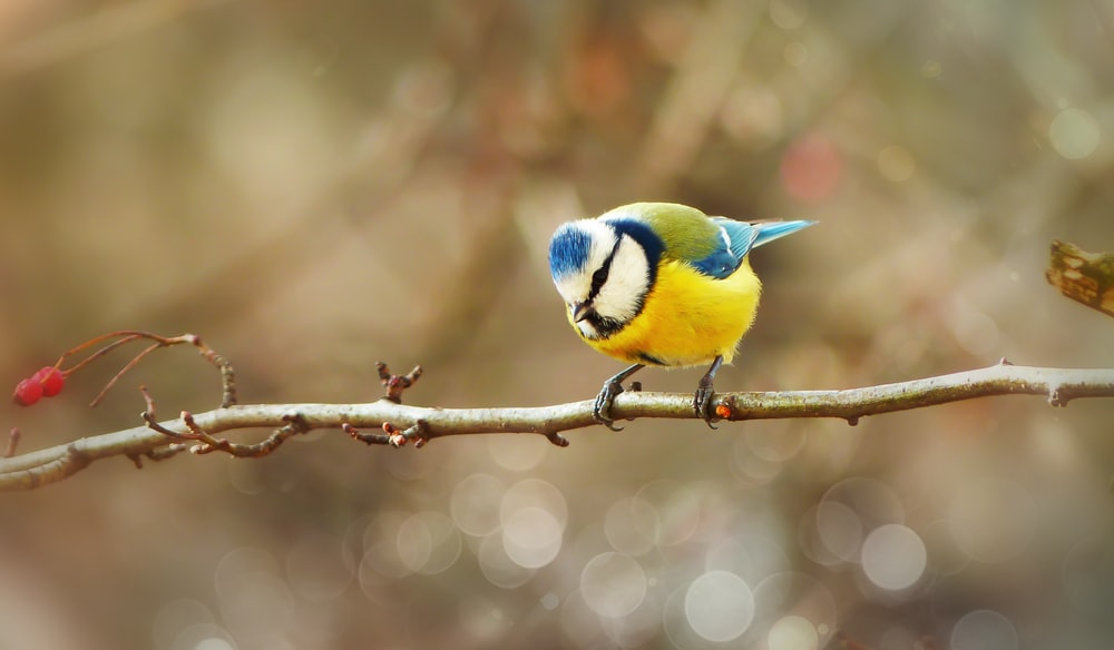 selective focus photography of blue, white, and yellow bird perching on twigs