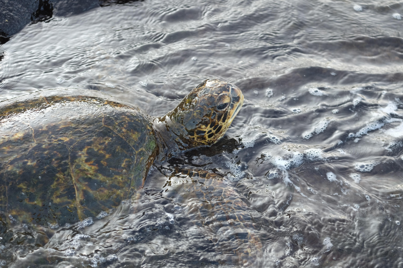 brown tortoise on water