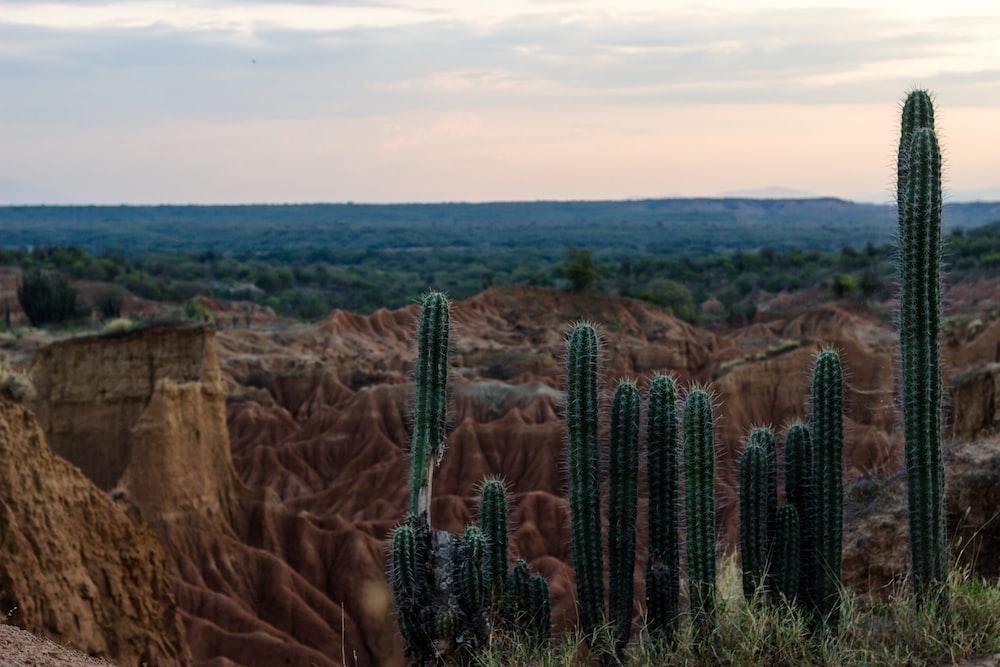 cacti plant in desert