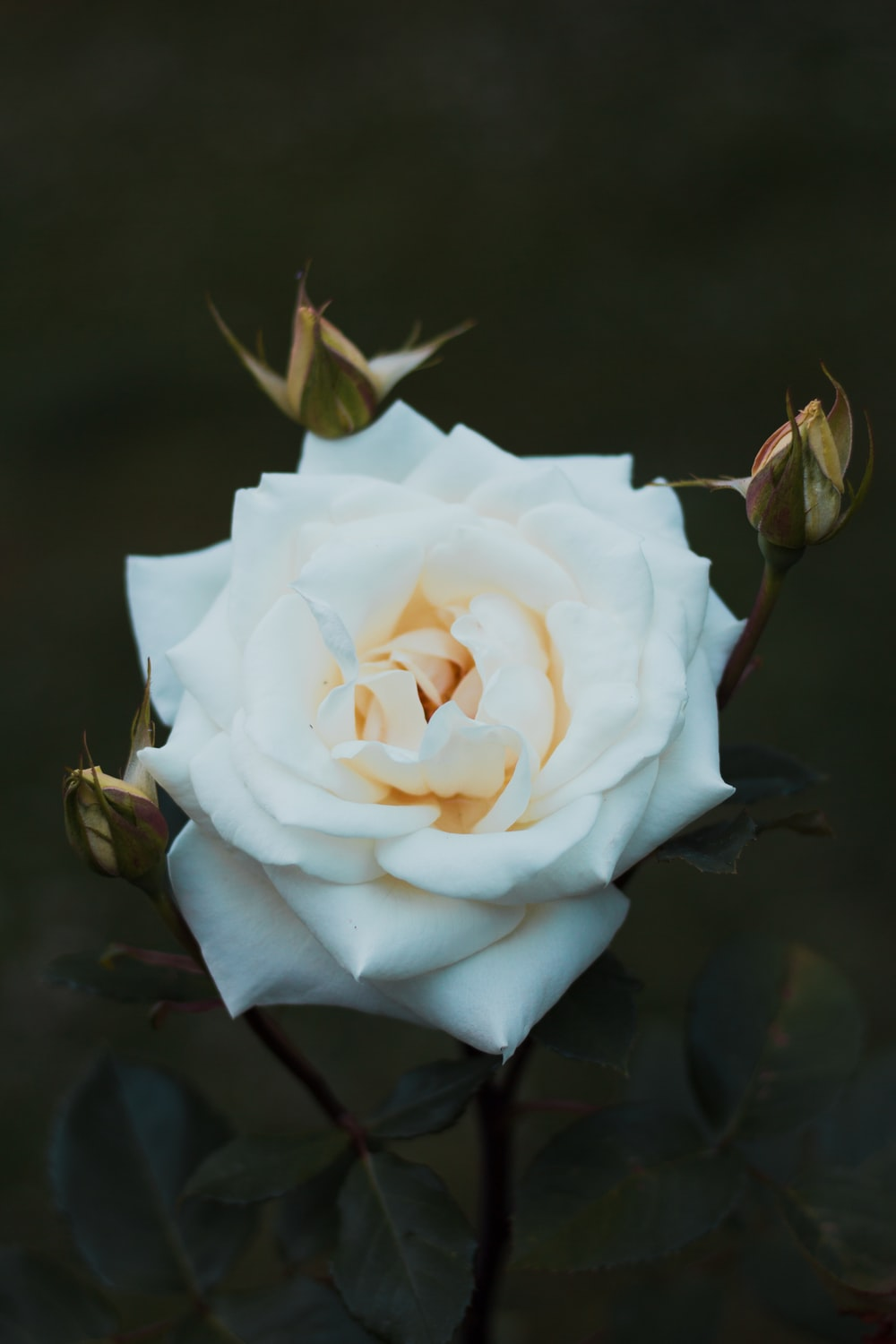 close up photography of white rose flower