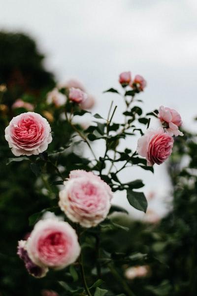 kwiaty-roze-paczki