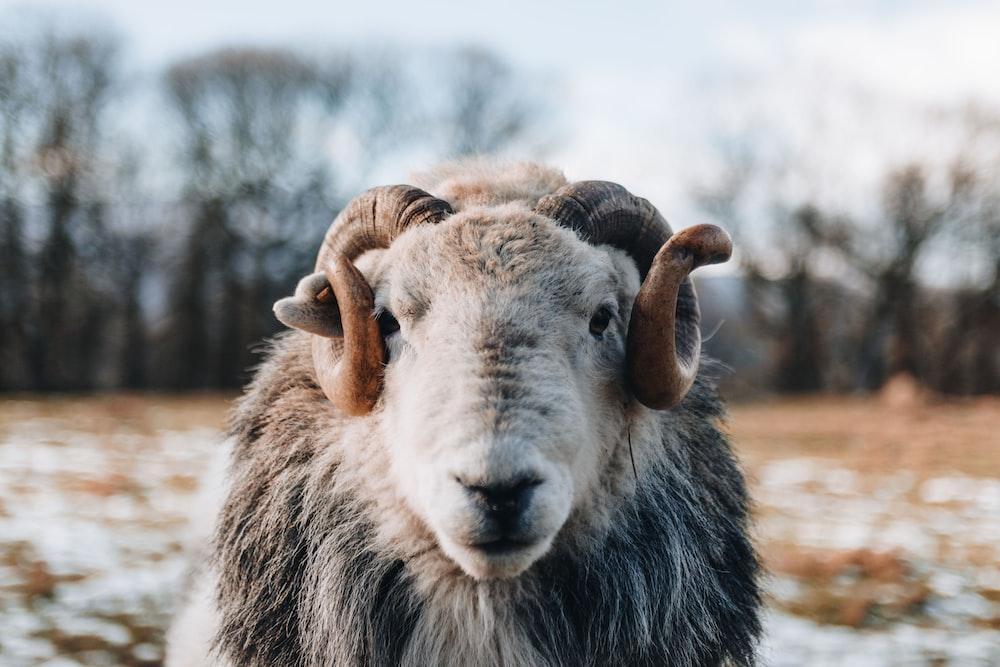 gray sheep during daytime