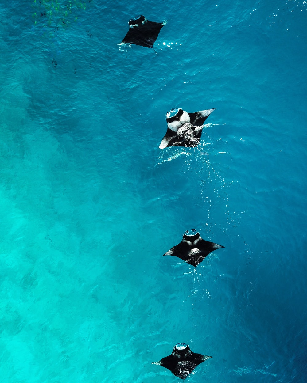 four black manta rays in water during daytime
