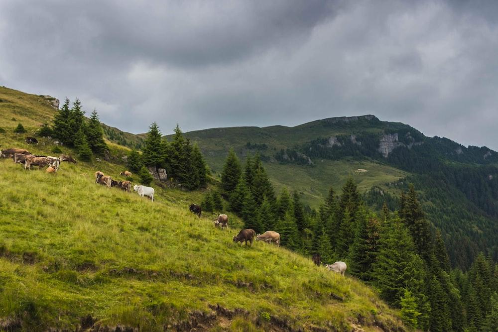 herd of cows under dark clouds