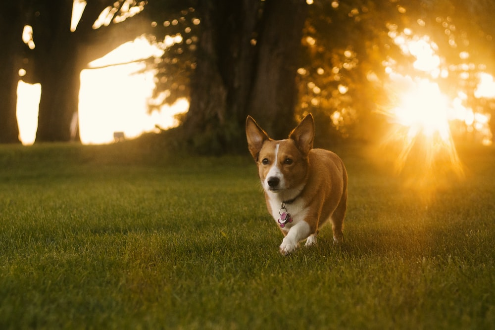 adult brown Pembroke Welsh Corgi on grass field