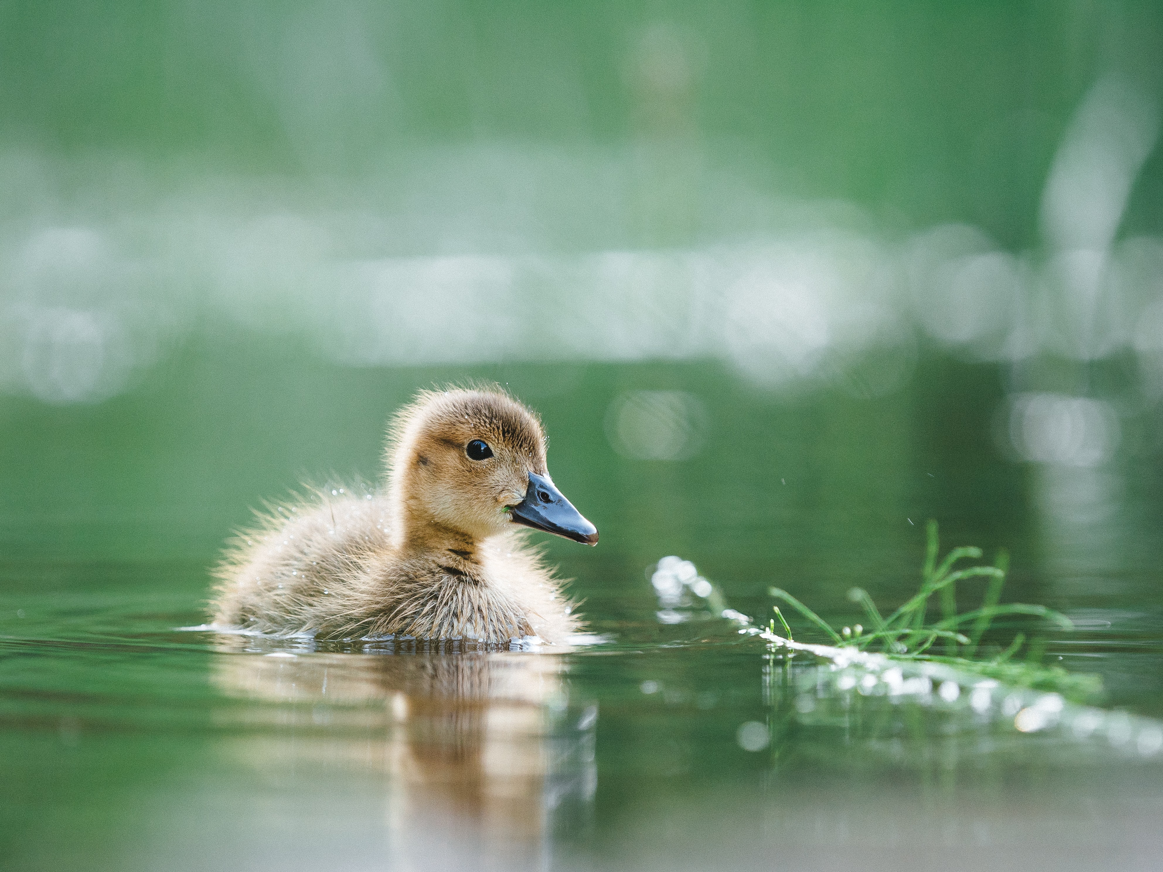 selective focus photography of of brown duckling on body of water