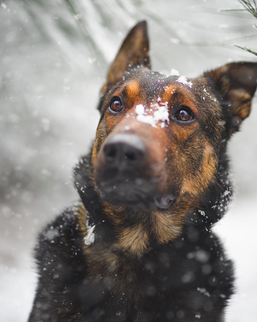 Snowy Lascar