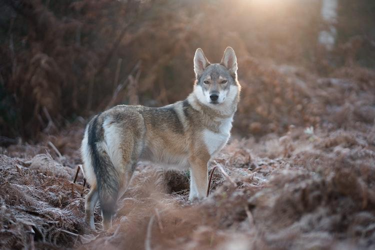 coyote in wild