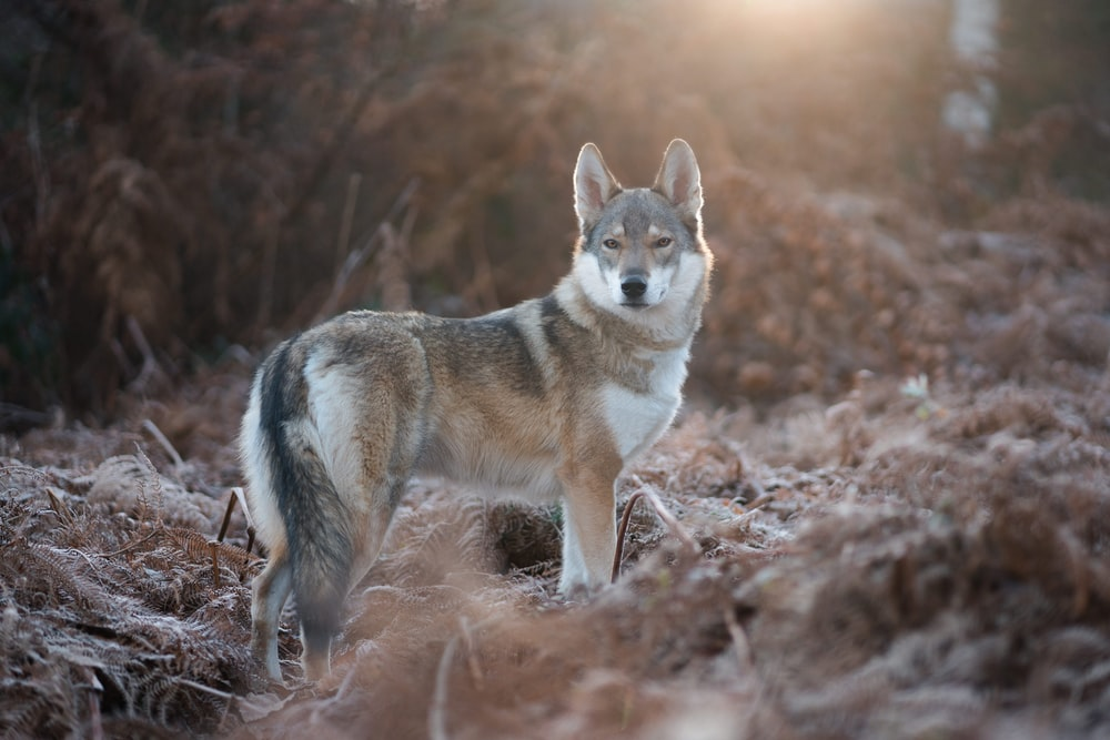 gray and white fox standing on brown grass during daytime