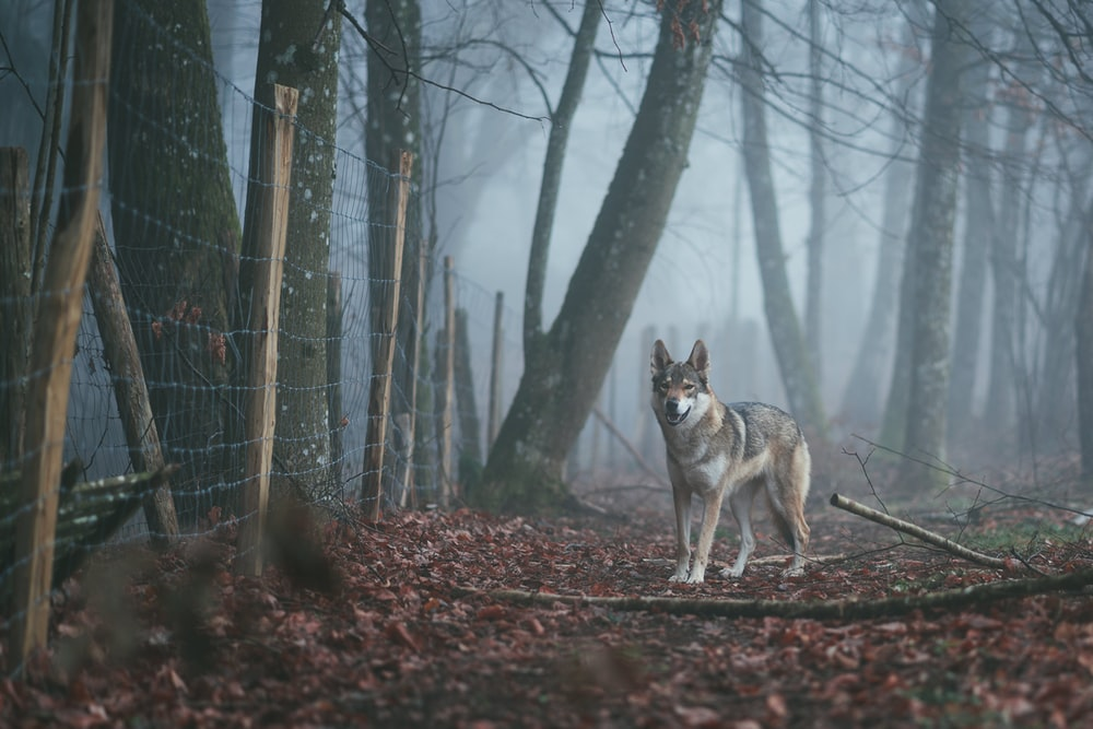 brown and white wolf standing on pathway near trees