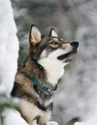 brown, black, and white wolf on snow covered field
