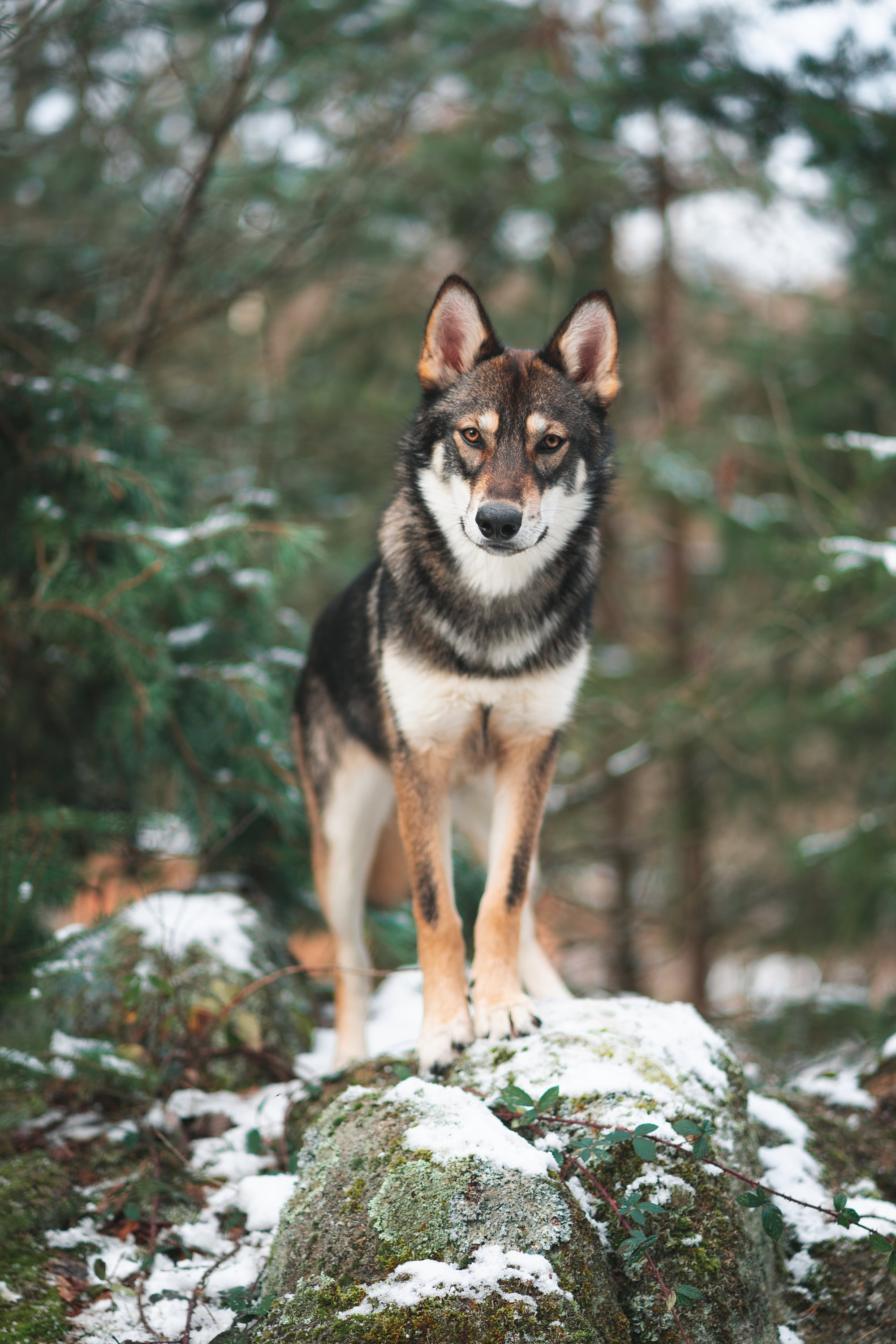 brown and white wolf standing on a rock in the woods during winter