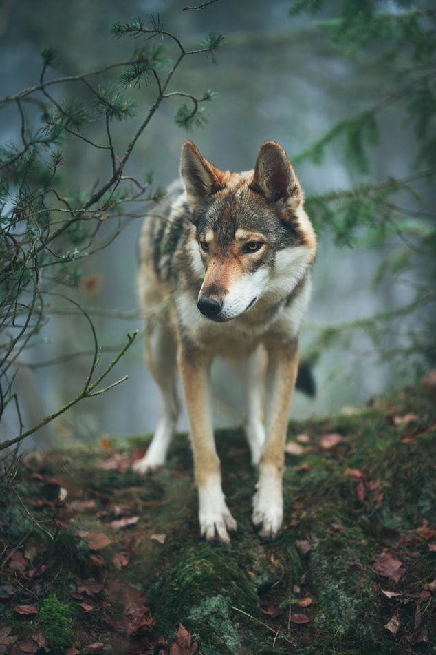 Beautiful wolf in the forest
