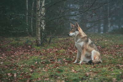 brown and white wolf on forest