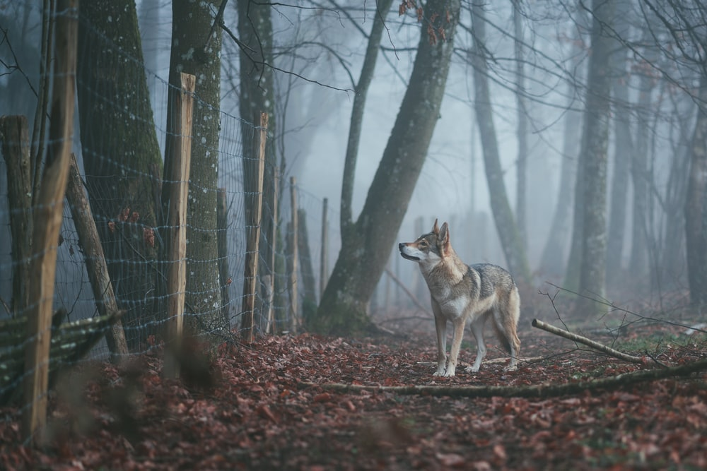 gray and white wolf standing near fence between forest