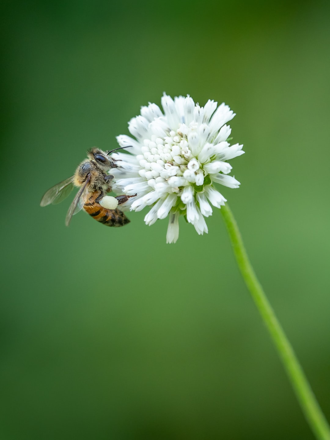 A common honey bee on a clover flower in the Manuel Antonio area of Costa Rica