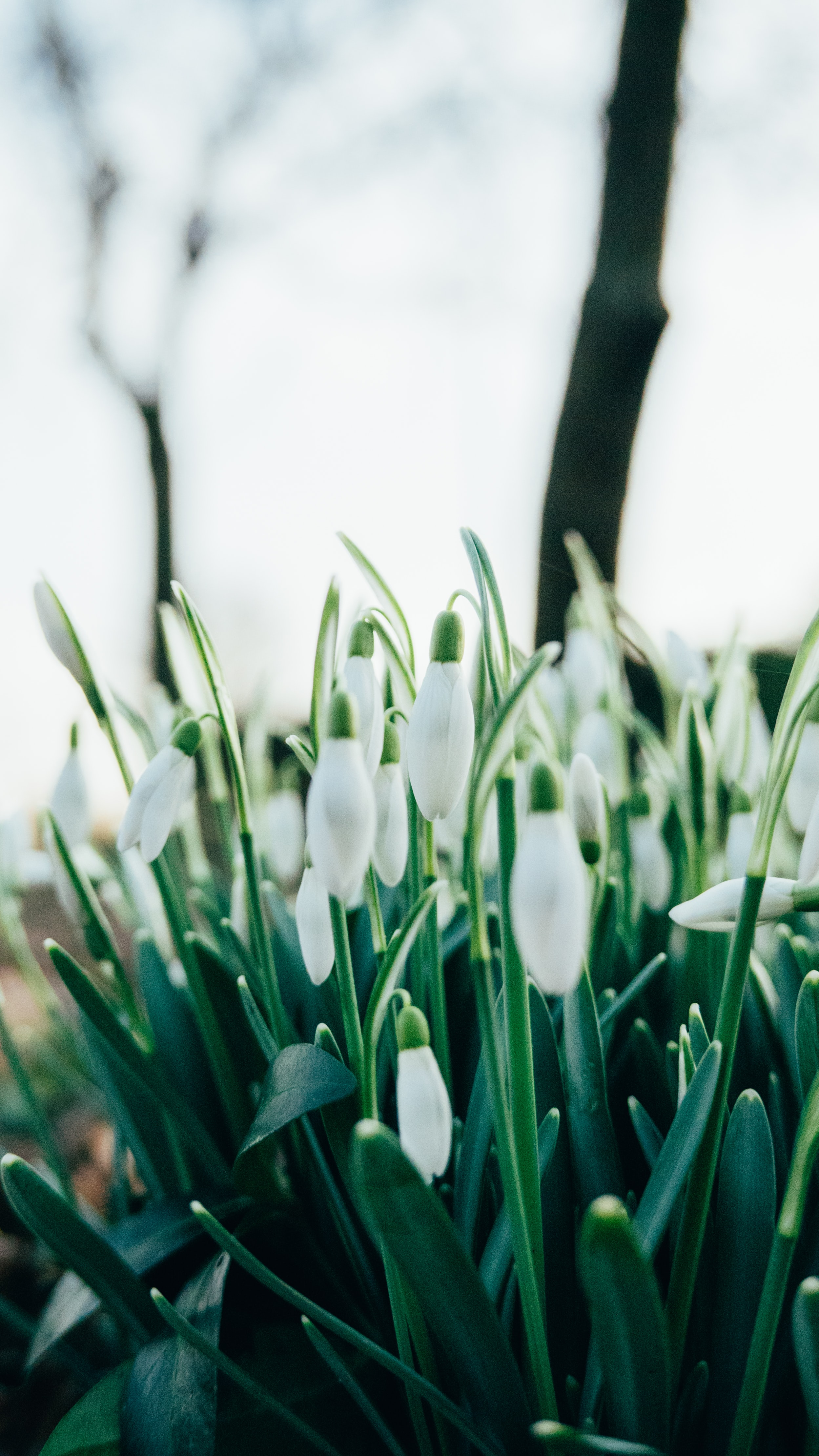 white snow-drop flower