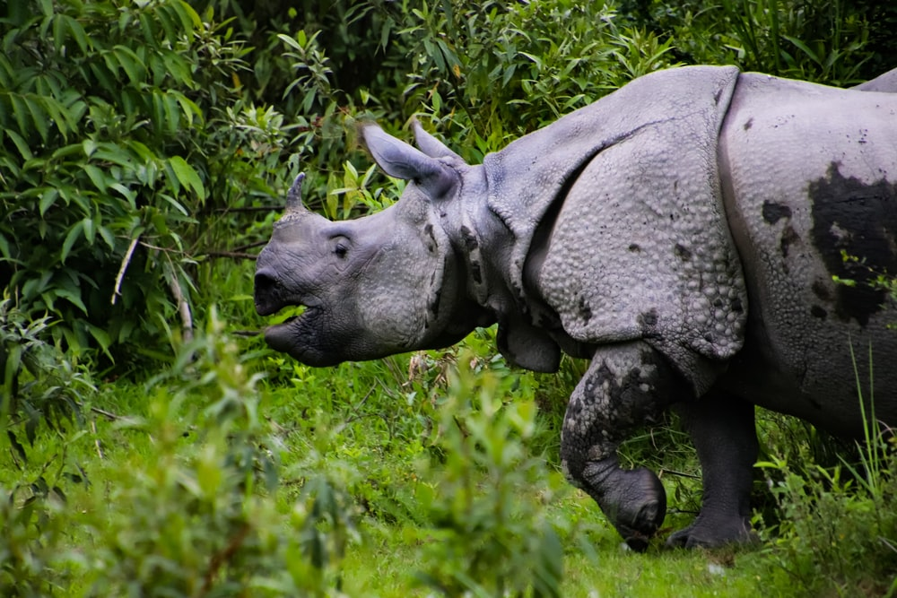 gray rhino near grass