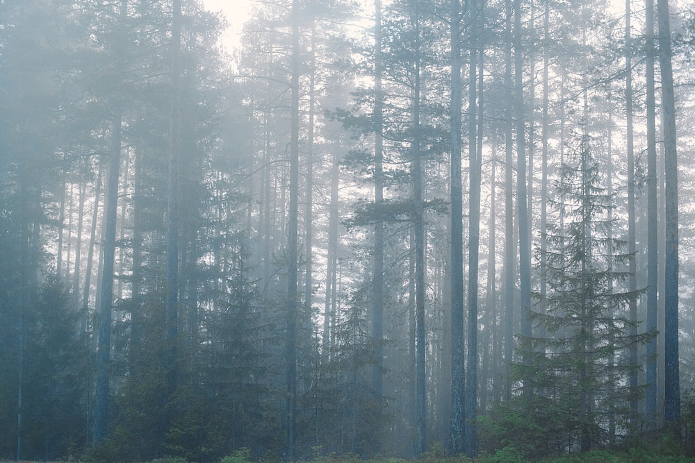 forest surrounded with fogs