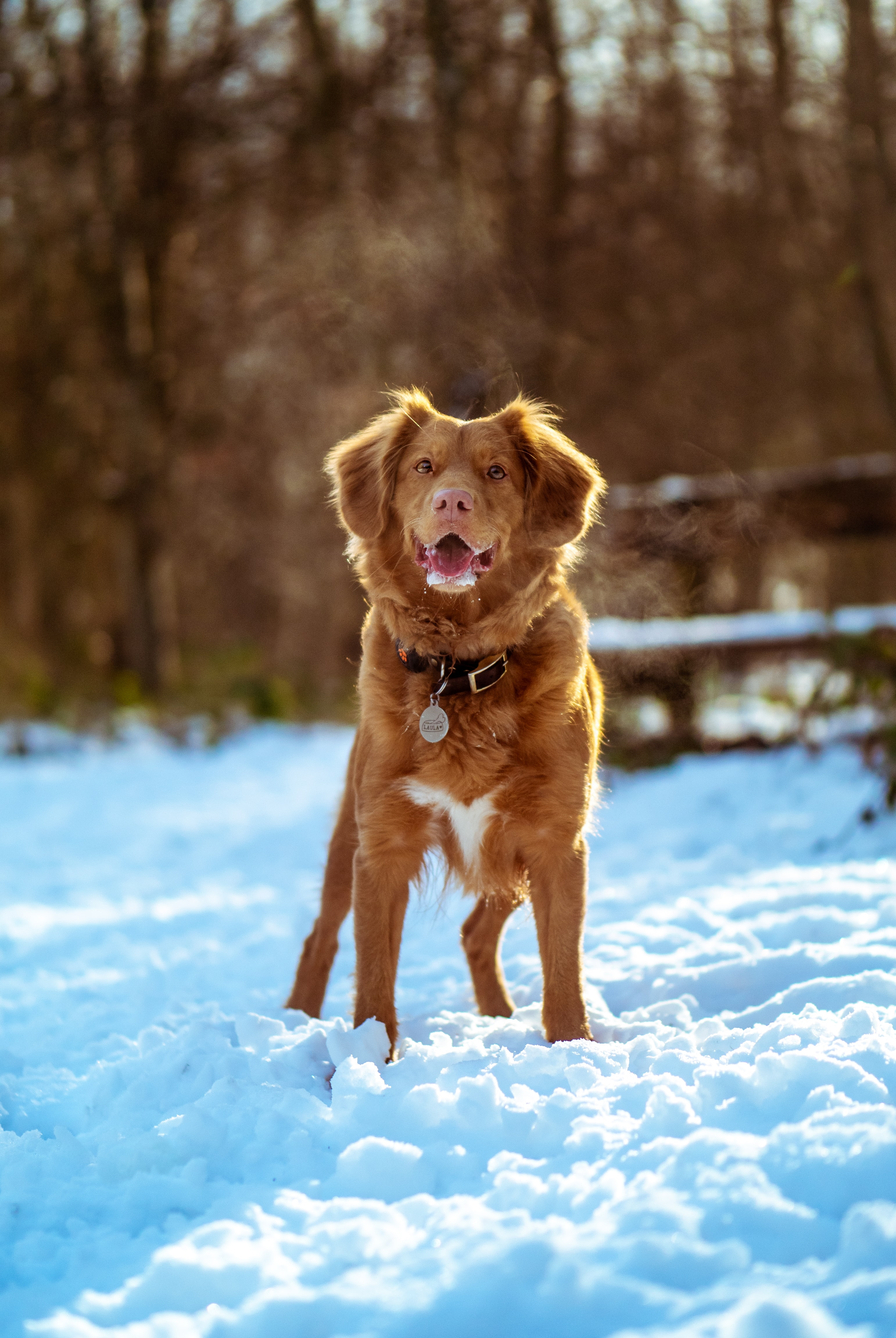 brown and white short coated dog stands on snow covered ground