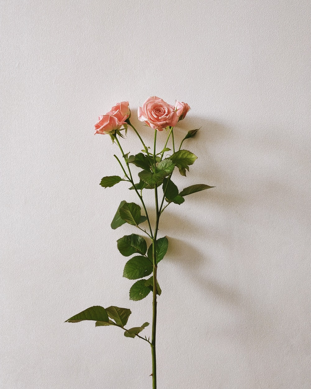 four pink rose flowers