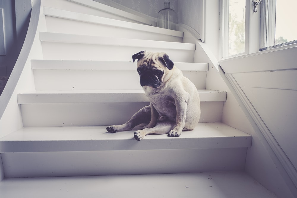adult fawn pug sitting on staircase