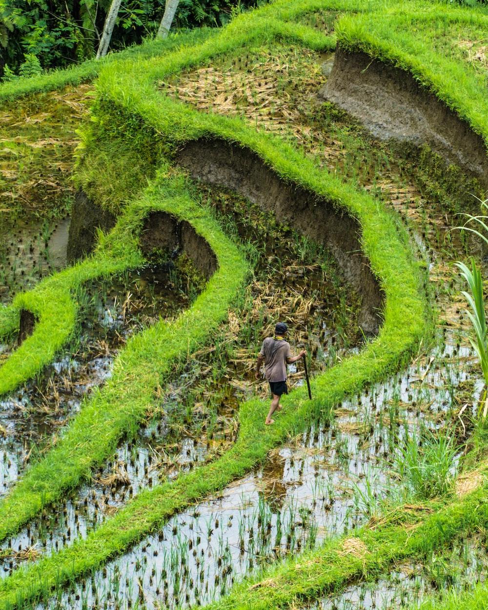 man walking at green rice field