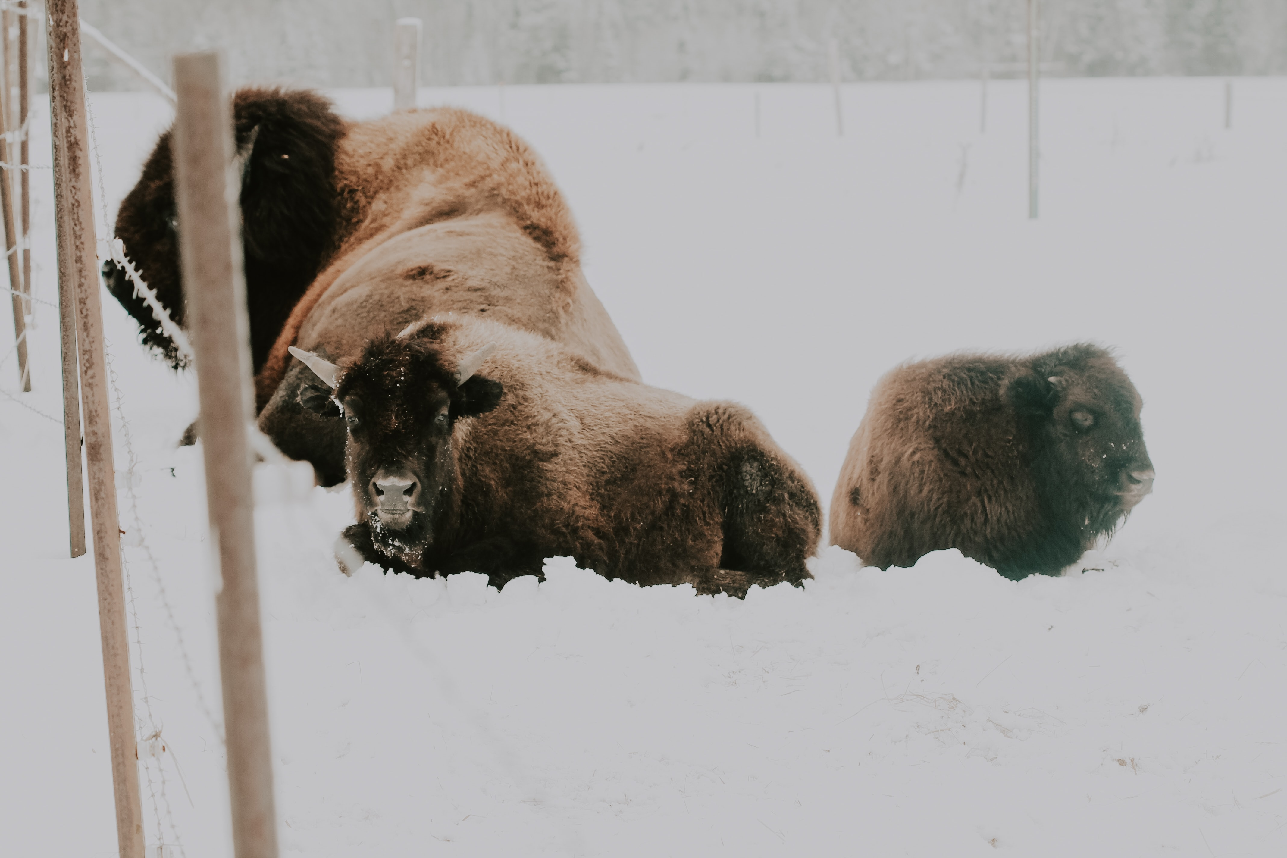 American bison with cuff on snow covered field