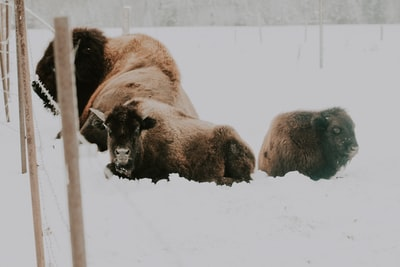 american bison with cuff on snow covered field bison zoom background