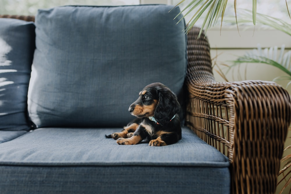 black puppy on blue padded couch