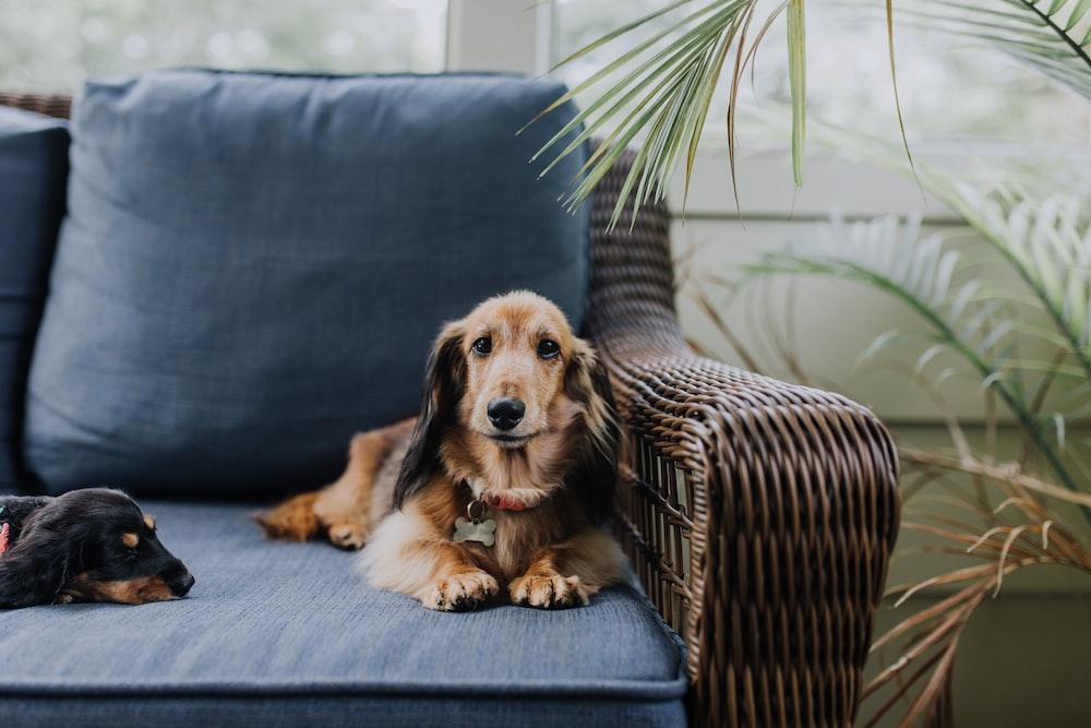 brown dog lying on sofa