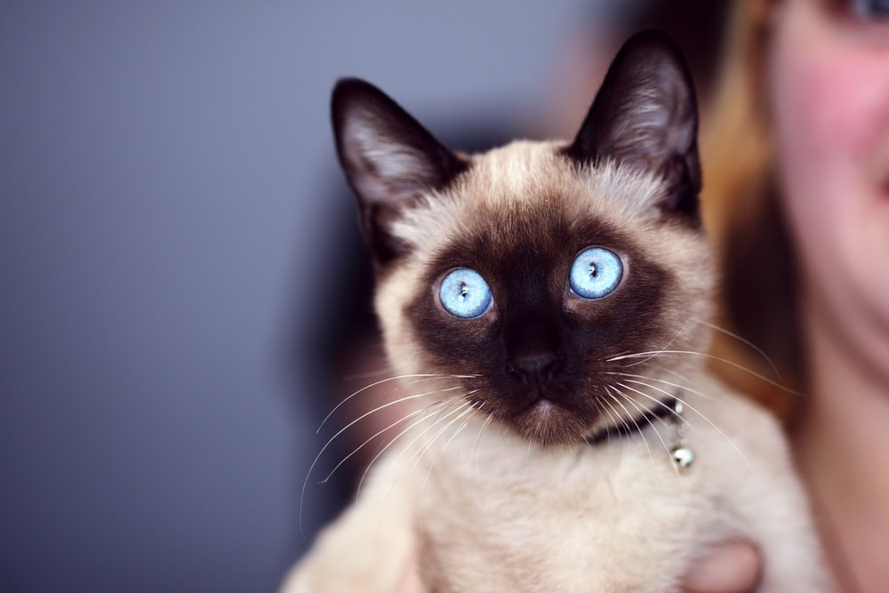 closeup photo of siamese cat