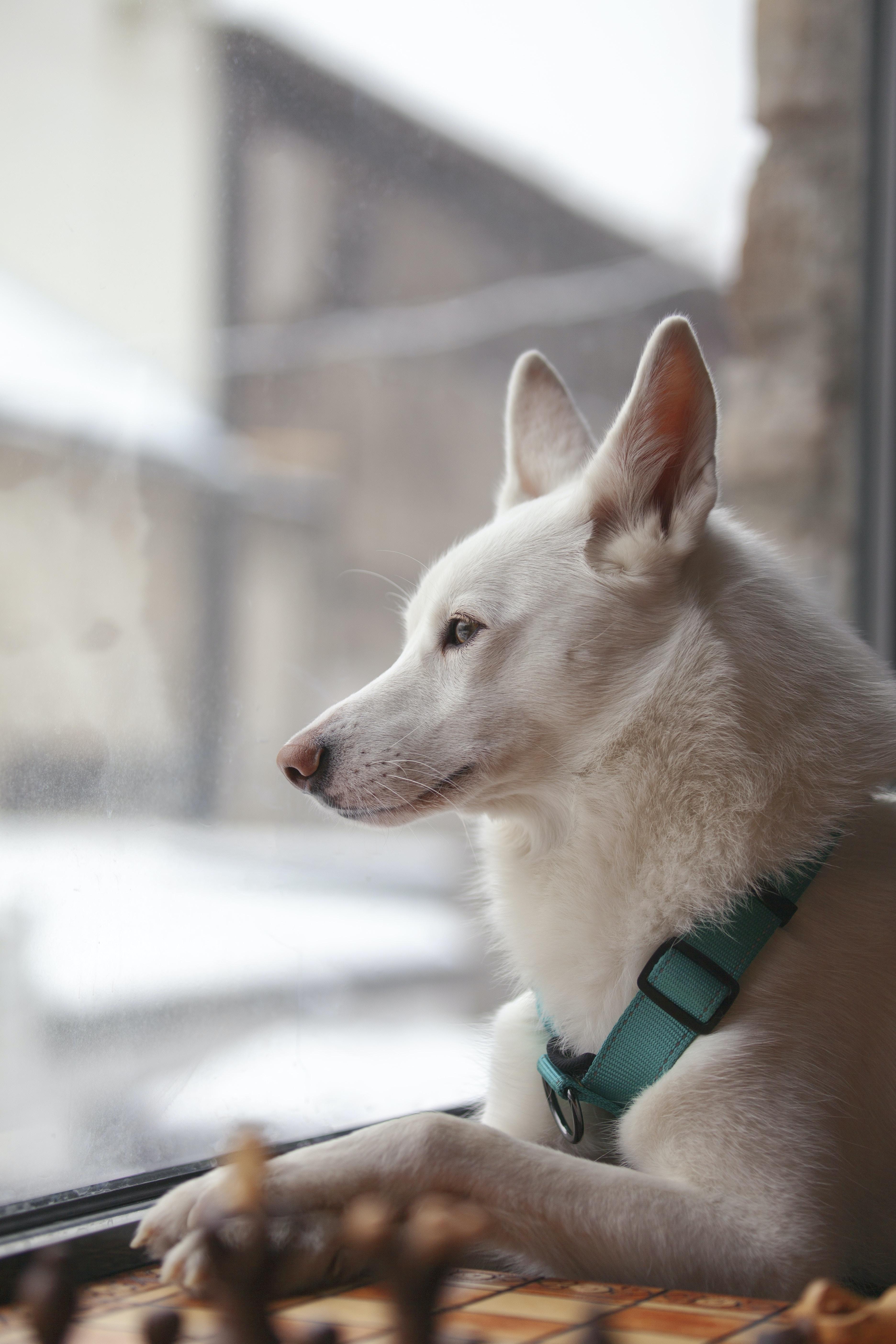 white dog looking outside window