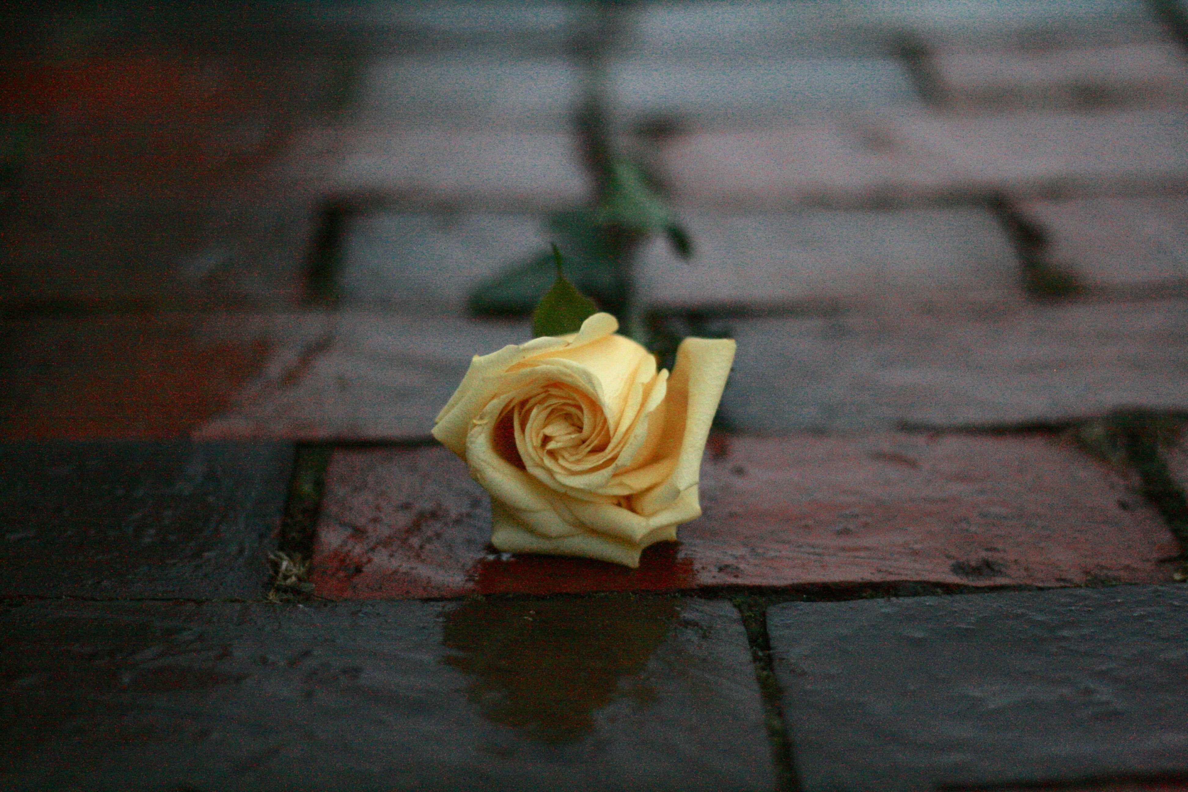 yellow rose flower on surface