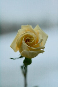 yellow rose close-up photography