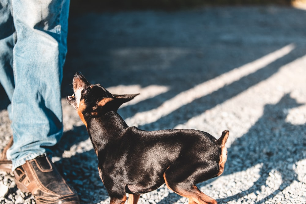 black short-coated dog barking on person wearing blue denim pants