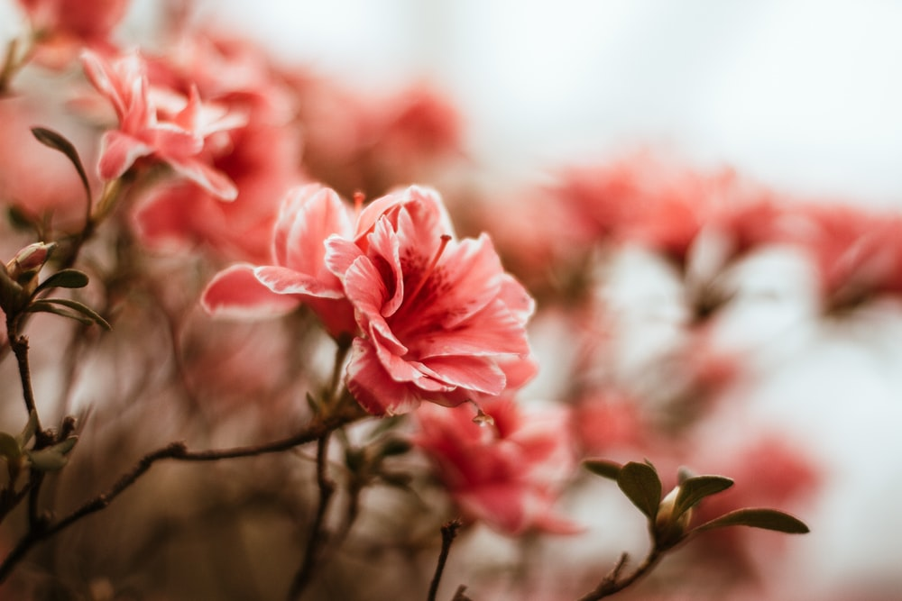 pink petaled flower bloom selective focus photography