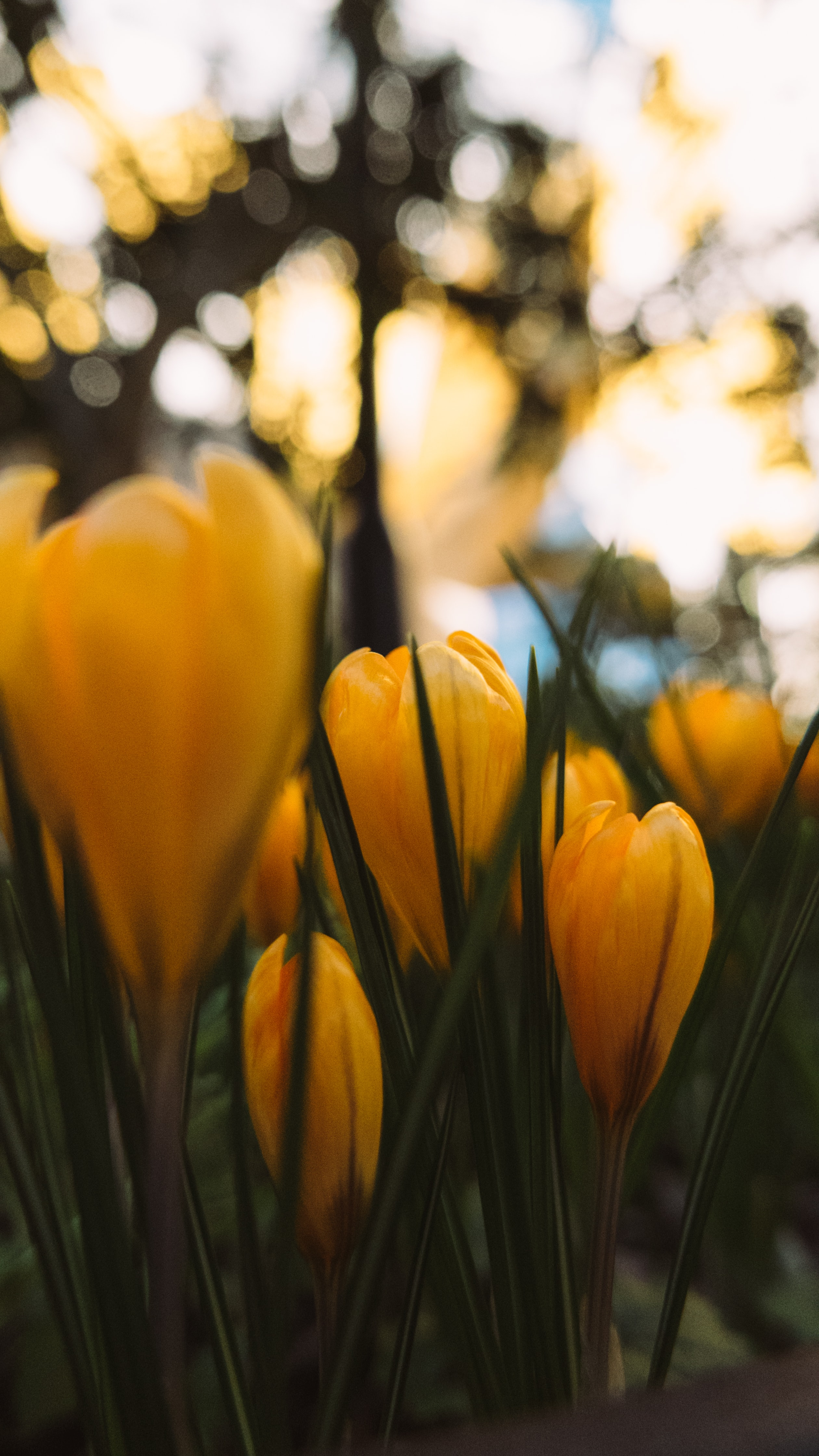 yellow tulip flowers in close-up photography
