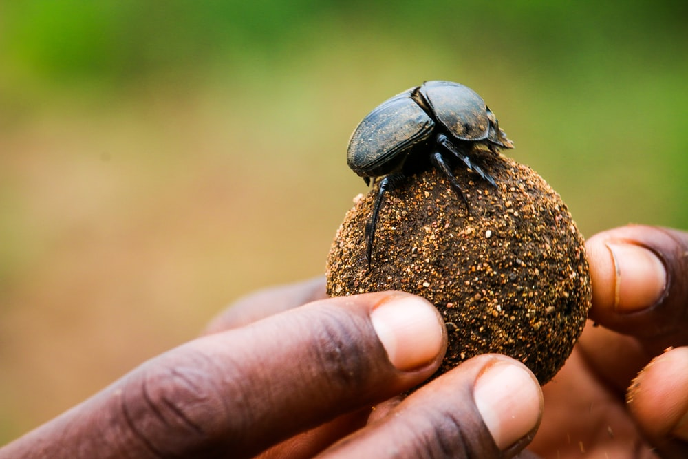 person holding black beetle