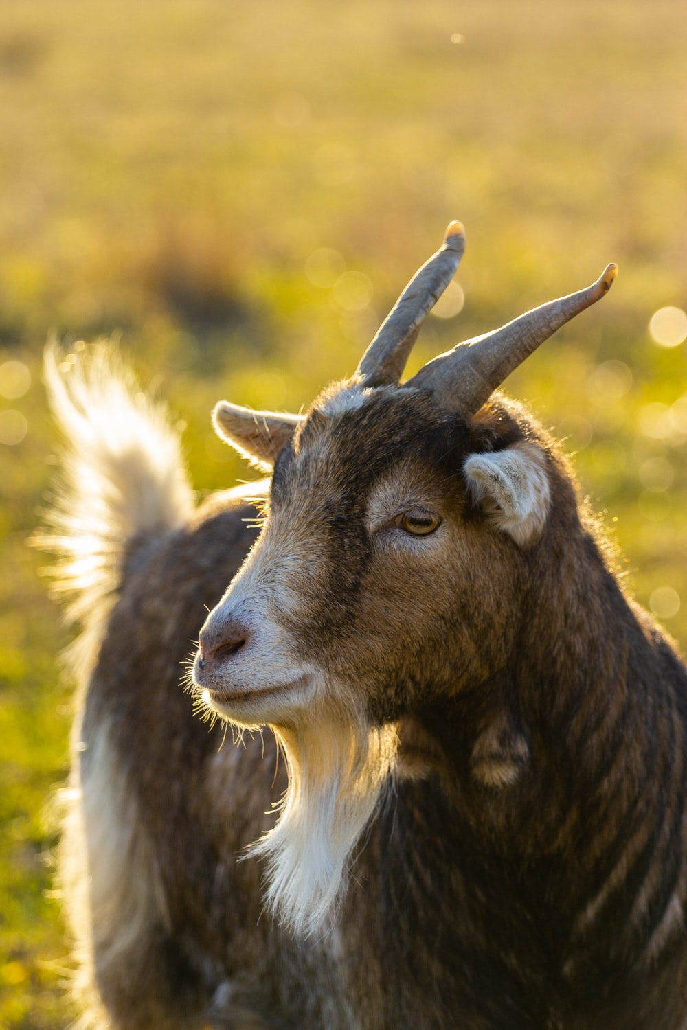 selective focus photography of brown goat during daytime