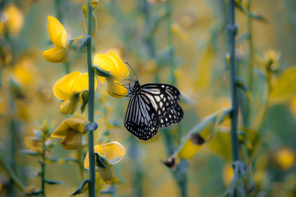 selective focus photography of black and white butterfly perching on yellow-petaled flowers